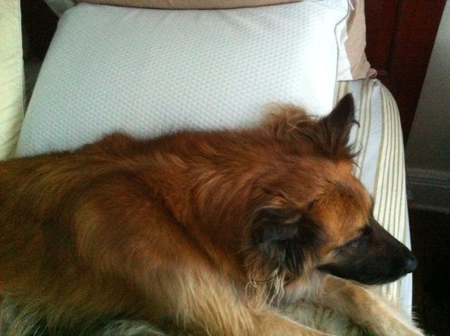 dog on pillow Review: AirFit Adjustable Pillow